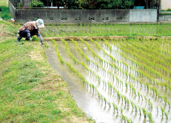 A rice paddy, source of atmospheric methane