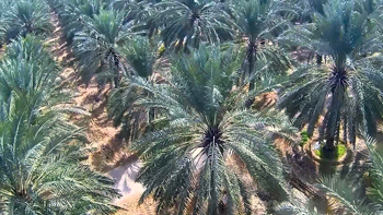 Dates cultivation keeps many farmers busy